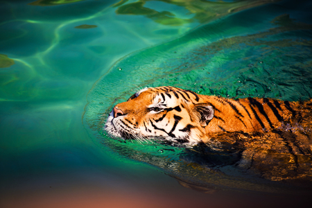 swimming tiger Фото со стока