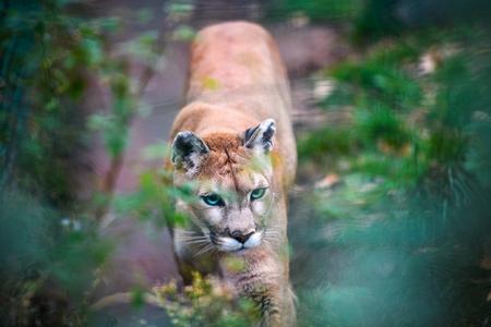 Mountain lion , cougar, puma portrait.