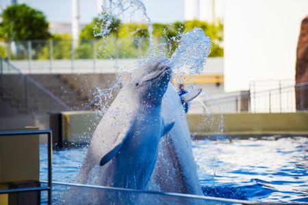 Beluga (polar dolphin)