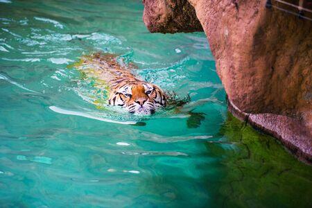 swimming tiger Imagens