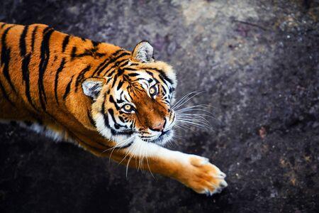 Beautiful amur tiger portrait
