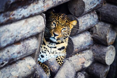 Portrait of a beautiful leopard Imagens