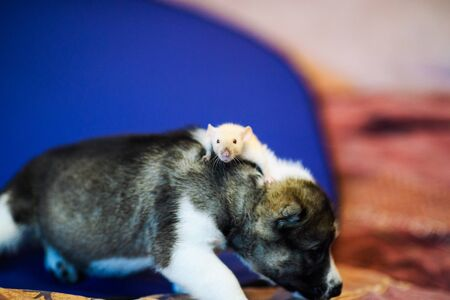 rat sitting on puppy