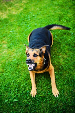 Angry dog attacks. The dog looks aggressive and dangerous.