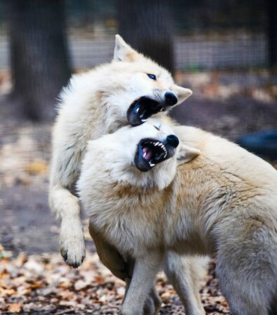 Two arctic wolves fighting