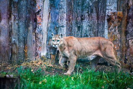 Mountain lion , cougar, puma portrait. Archivio Fotografico