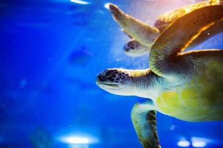 Meeresschildkröte im blauen Wasser über Korallenriff