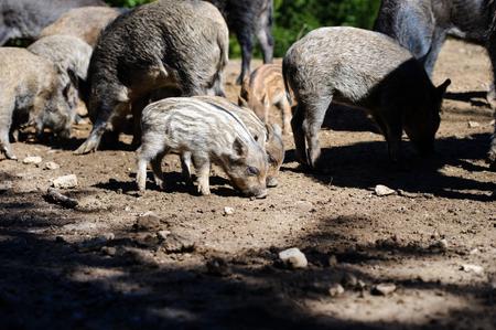Wild boar in forest. Summer day. Wild animals