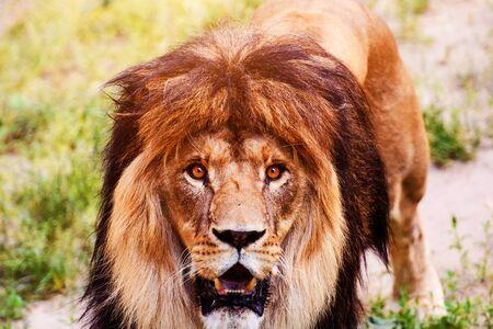 Beautiful Mighty Lion. Animal world. Big cat. Stok Fotoğraf