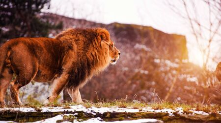 Beautiful Mighty Lion. Big cat. Strong and powerful animal. Stock Photo