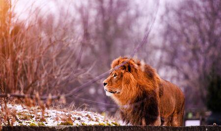 Beautiful Mighty Lion 写真素材