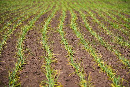 organically cultivated garlic plantation