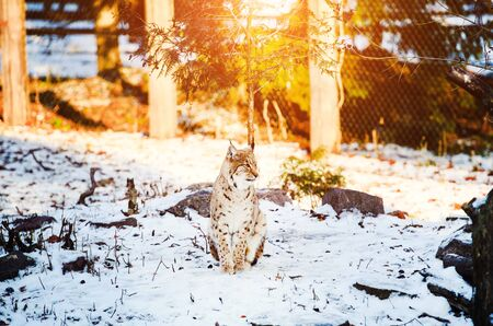 lynx in winter Stock Photo