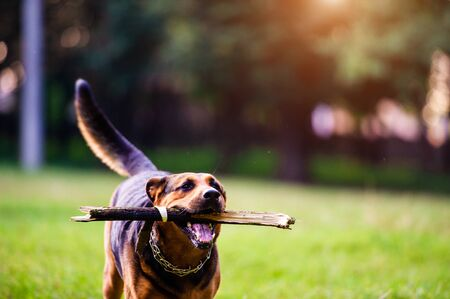 Dog running with a stick in its mouth in a grass. The best friend. Happy dog. Summer time. 写真素材