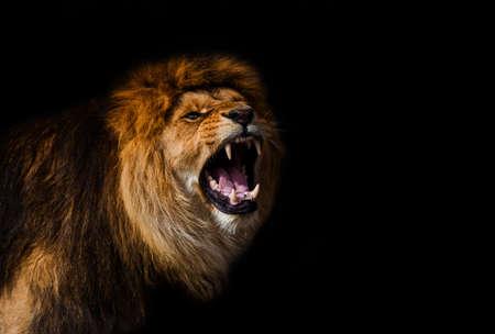 Portrait of a Beautiful lion, furious lion in dark
