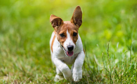 Jack Russell Terrier dog run and jumps over the green grass
