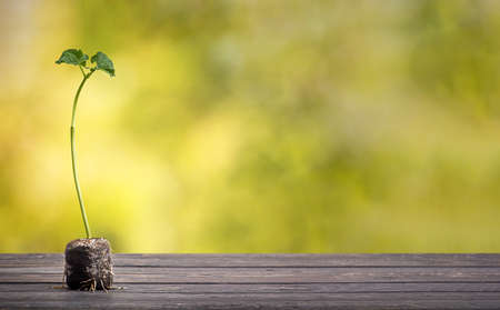 Green plant on wooden table with defocused green lush foliage at background. Bean sprout. Eco concept.