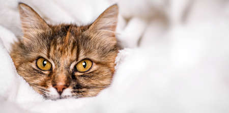 Cute cat lying on white soft blanket. 版權商用圖片