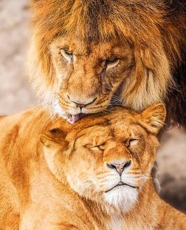 Pair of adult Lions. Predator's love. 版權商用圖片