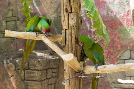 loros verdes: Un par de loros verdes sentado en una rama