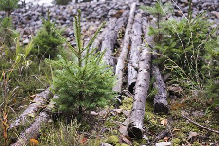 logging industry: Nature Detail of Young Evergreen Sapling Tree Growing Beside Fallen Cut Logs - Logging Industry Deforestation Responsibility Concept Image