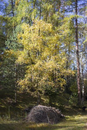 changing seasons: Colorful yellow tree in autumn woodland showing the changing seasons and cooler weather in at alpine landscape in Tirol, Austria