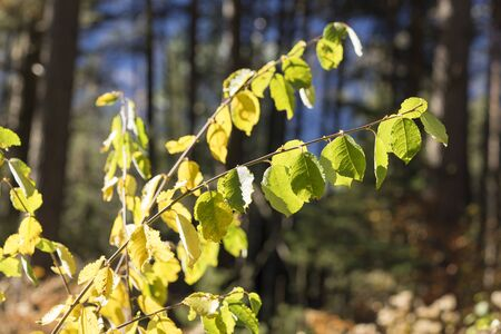 timberland: Nature Close Up of Green Leaves Growing on Branches and Lit in Bright Sunlight with Evergreen Forest in Background