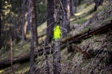maleza: Cierre de pequeños Muerto Árbol de hoja perenne de coníferas con spray fluorescente verde-amarillo Rotulador de pintura en tronco en el bosque con el viejo crecimiento - concepto de gestión de imagen Bosque