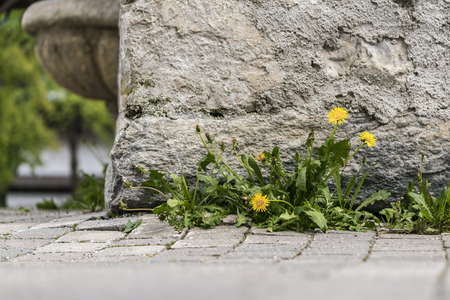 Small cluster of dandelion weeds growing against an old wall of a building on paving in a low angle view