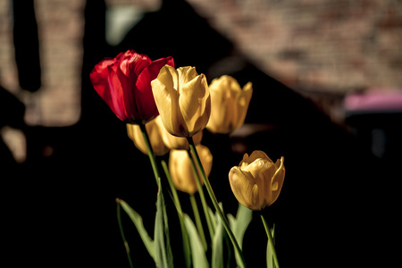 Colorful cluster of red and yellow spring tulips growing outdoors in a beam of sunlight in the garden in a close up view with copy space Standard-Bild
