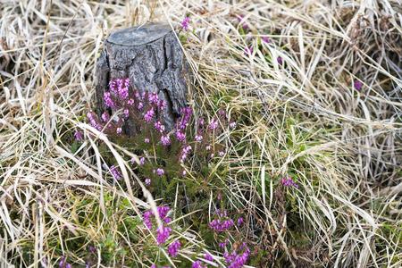 Ziemlich lila Erica oder Heide Blumen wachsen unter Gras neben einem Baumstumpf auf dem Land in einer Nahaufnahme