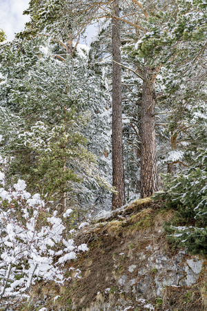 Snow covered pine trees in a winter forest viewed from the bottom of a steep embankment in a concept of the changing seasons