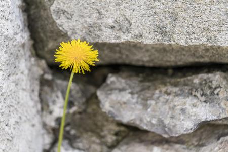 Close up auf einem frischen gelben Löwenzahn wächst im Freien gegen Felsen mit Kopie Raum Standard-Bild