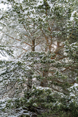 Winter forest with snow on the branches of the evergreen coniferous pine trees in a close up full frame view conceptual of the seasons