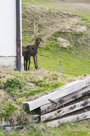 Neugierige geschorene braune Schafe, die um ein Gebäude an der Kamera mit einem Holzstapel im Vordergrund spähen