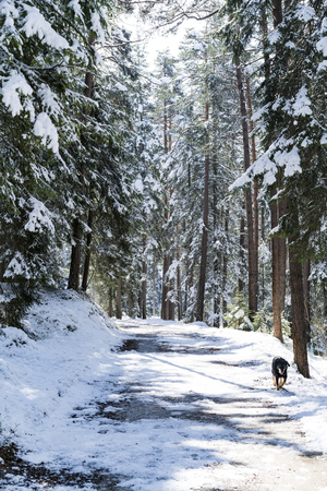 Dog walking along a snowy forest road in winter with snow-covered evergreen pine trees approaching the camera with copy space Standard-Bild
