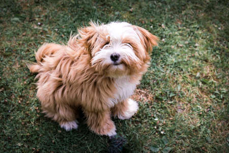 High angle view of long-haired Tibetan Terrier sitting on grass