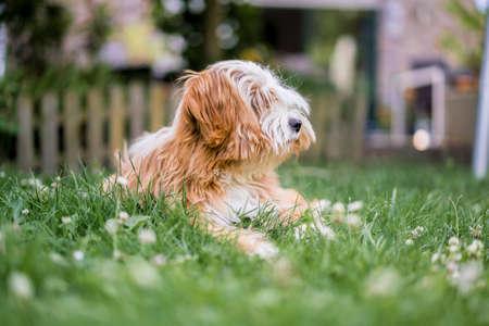 Long-haired Tibetan Terrier lying on green grass Standard-Bild