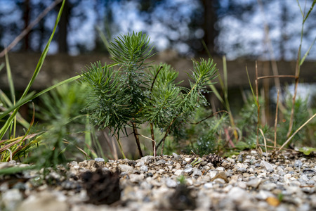 Young conifer tree shoot in close-up, viewed from ground level from the side. Small green pine growing on pebbles on the ground outdoors in the nature