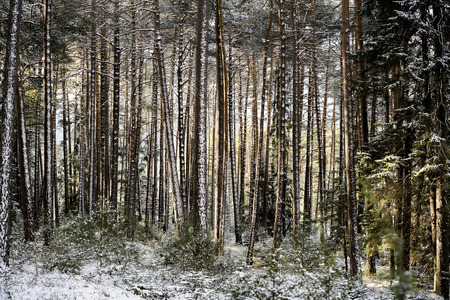 Dense forest tree trunks covered in white snow during winter time. Standard-Bild