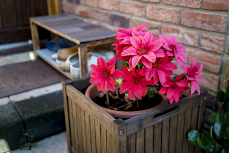 A close up of beautiful red artificial Christmas flowers in a pot in a home backyard.
