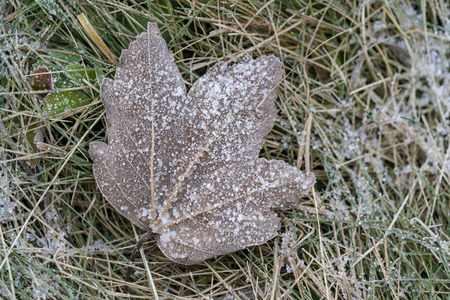 Frozen withered leaf in close-up on green grass in the cold autumn morning, viewed from above in detail