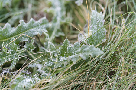 Leaves of a green plant covered with hoarfrost on the ground on uncut grass, viewed in closeup from the side. Full frame background nature concept. Autumn frosty morning