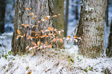 A close up of a small sapling beside a large tree trunk covered in snow in the forest during winter.