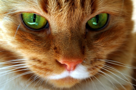 red cat with green eyes photo