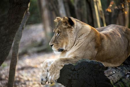 Lion in the forest Reklamní fotografie