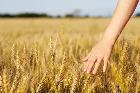 harvest field: Womans hand over ears of wheat
