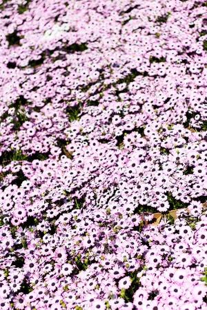 magenta: Field of magenta color flowers