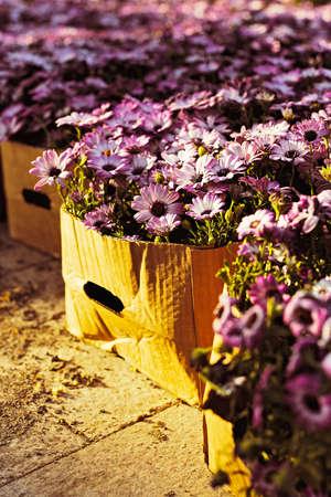magenta flowers: Magenta flowers in cardboard boxes