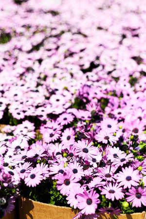 magenta flowers: Magenta flowers in cardboard box